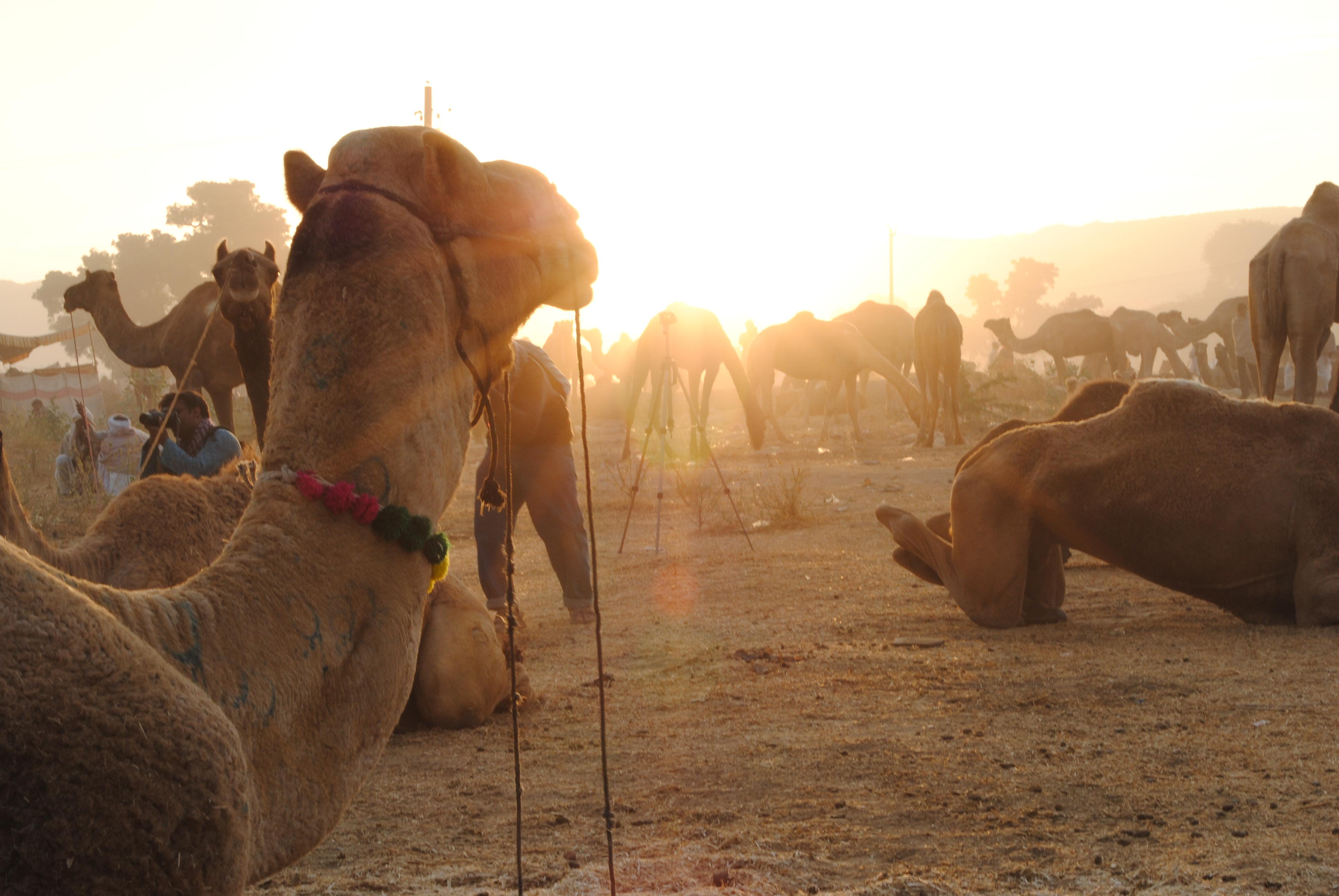 Sunrise at Pushkar Camel Fair